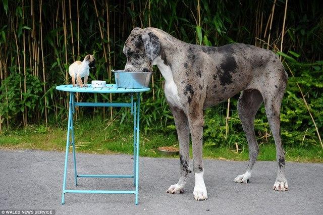 Chú chó cao nhất thế giới gặp chú chó bé nhất nước Anh - 5