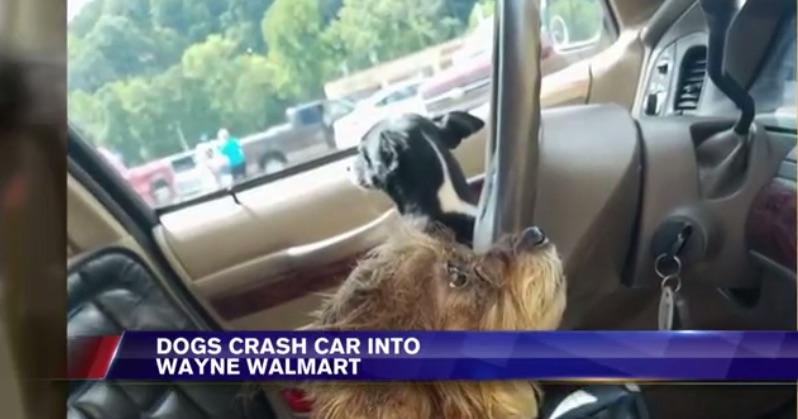 Chó lái xe lao vào siêu thị - 1