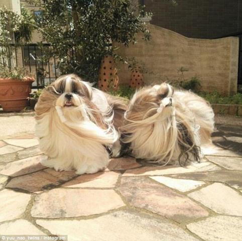 Hai chú chó Nhật lông dài thướt tha, đẹp như... chó cái - 2