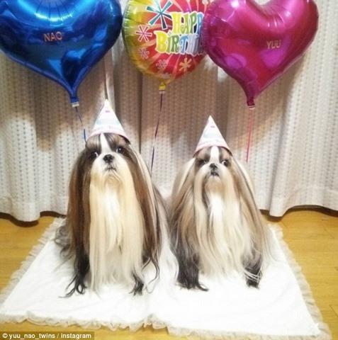 Hai chú chó Nhật lông dài thướt tha, đẹp như... chó cái - 1
