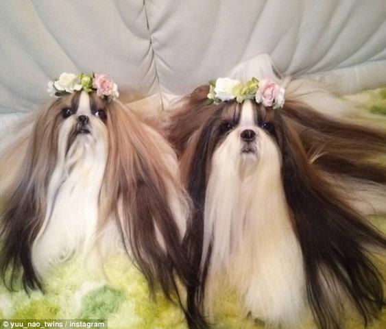 Hai chú chó Nhật lông dài thướt tha, đẹp như... chó cái - 5