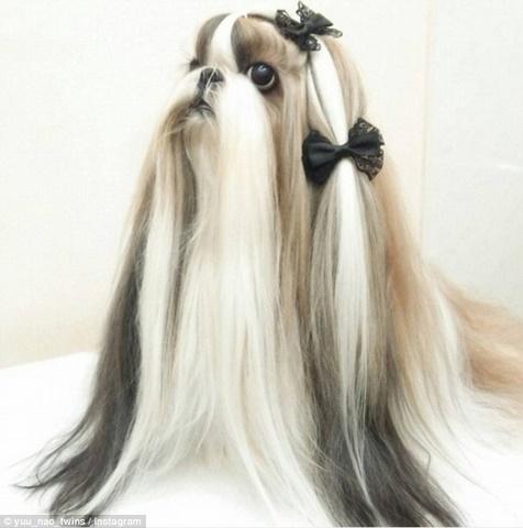 Hai chú chó Nhật lông dài thướt tha, đẹp như... chó cái - 3