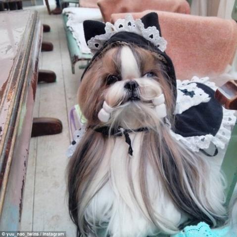 Hai chú chó Nhật lông dài thướt tha, đẹp như... chó cái - 4