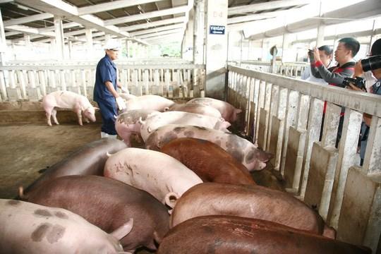 Phát hiện lợn chứa chất cấm ở Hà Nội, Hải Phòng - 1
