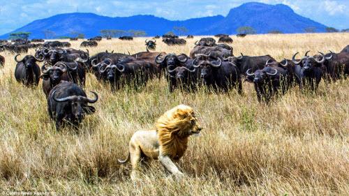 """Trâu rừng hợp sức truy đuổi sư tử chạy """"té khói"""" - 1"""