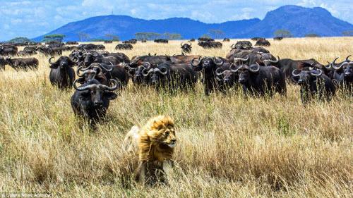 """Trâu rừng hợp sức truy đuổi sư tử chạy """"té khói"""" - 5"""