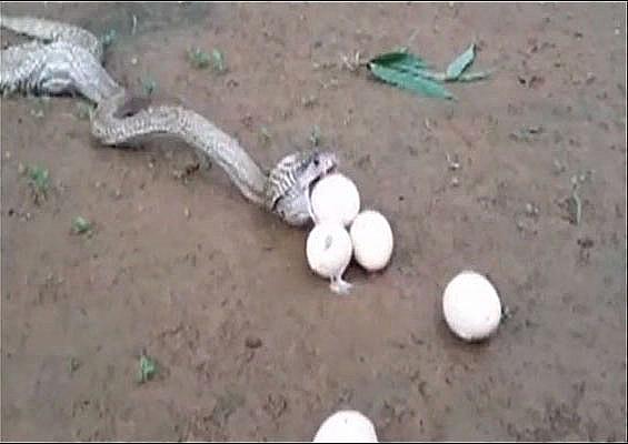 Video: Hổ mang chúa khổ sở nôn 6 quả trứng vì quá tham - 1