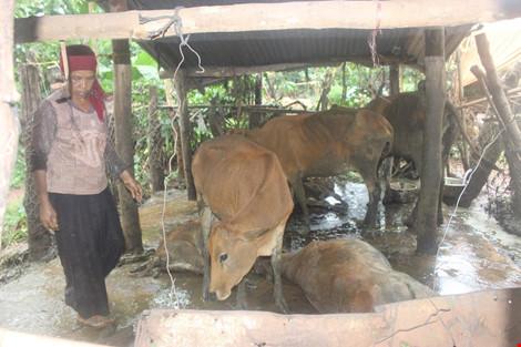 Hoang mang vì ngủ dậy thấy bò chết hàng loạt - 2