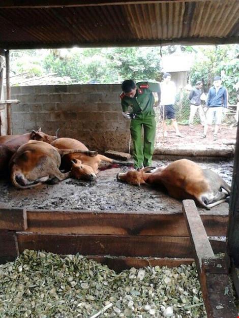 Hoang mang vì ngủ dậy thấy bò chết hàng loạt - 1