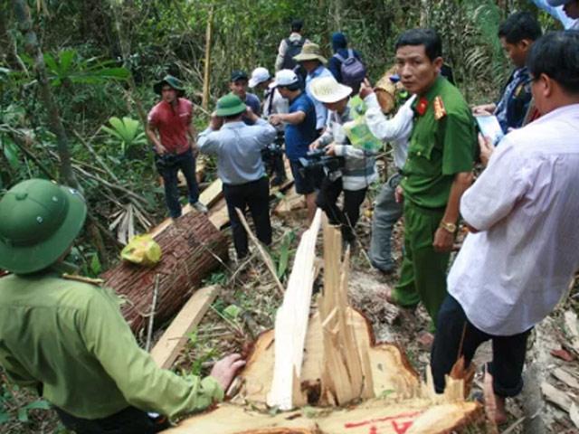 Đã làm rõ được các đối tượng phá rừng pơ mu - 1