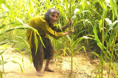 Cụ bà 90 tuổi lưng còng, tóc bạc vẫn trồng ngô tỉa bắp - 3