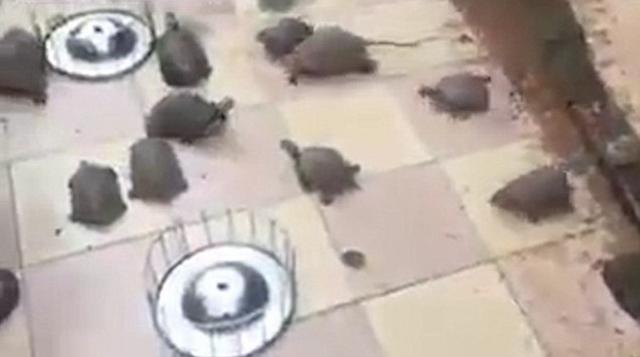 """Video: Rùa chạy """"như bay"""" khi chủ gọi cho ăn - 1"""