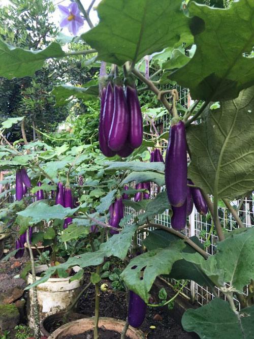 Mẹ Việt đưa giống cây sang Malaysia phủ kín vườn 200m2 - 3