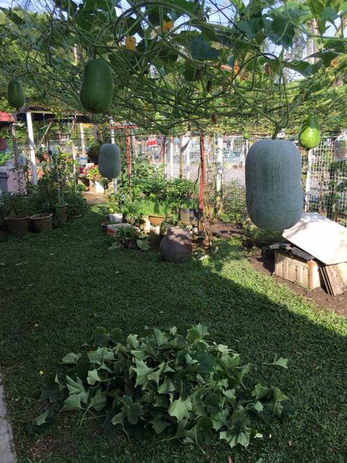 Mẹ Việt đưa giống cây sang Malaysia phủ kín vườn 200m2 - 4