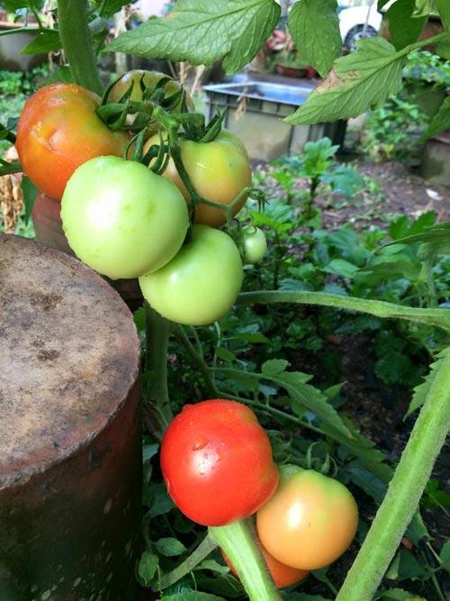 Mẹ Việt đưa giống cây sang Malaysia phủ kín vườn 200m2 - 6