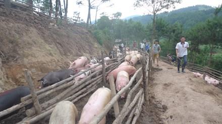 Tái xuất khẩu lợn hơi sang Trung Quốc - 1