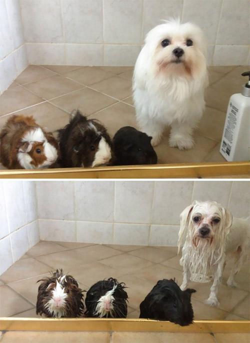 Hình ảnh cún cưng tắm xong sẽ ngộ như thế này đây! - 2