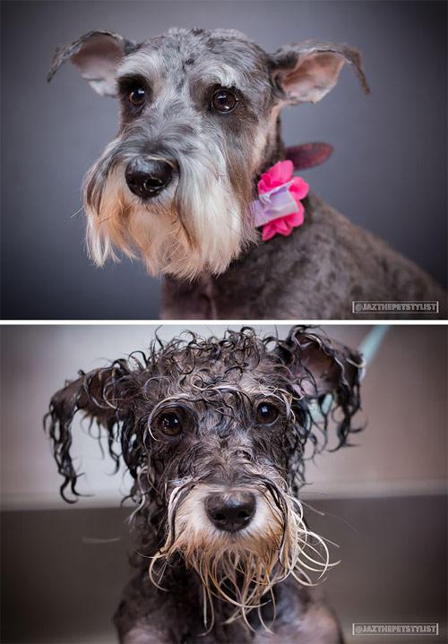 Hình ảnh cún cưng tắm xong sẽ ngộ như thế này đây! - 11