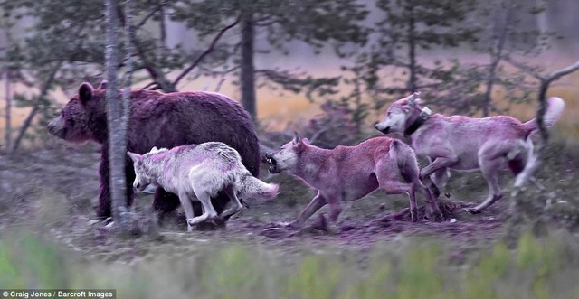 Gấu bị bầy sói dạy cho bài học vì xâm phạm lãnh thổ - 2
