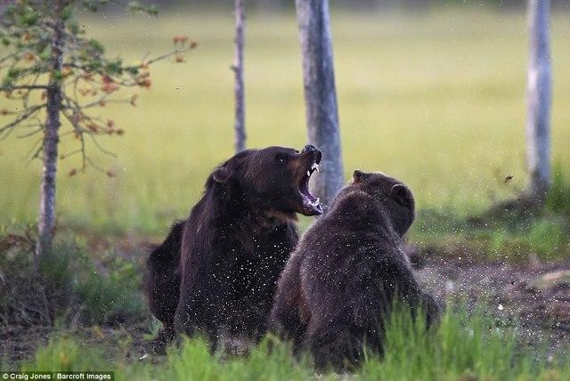 Gấu bị bầy sói dạy cho bài học vì xâm phạm lãnh thổ - 3