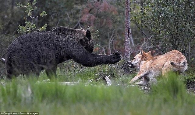 Gấu bị bầy sói dạy cho bài học vì xâm phạm lãnh thổ - 1