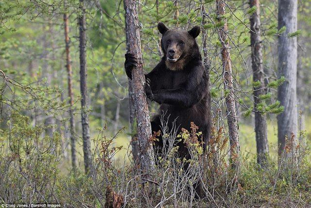 Gấu bị bầy sói dạy cho bài học vì xâm phạm lãnh thổ - 6