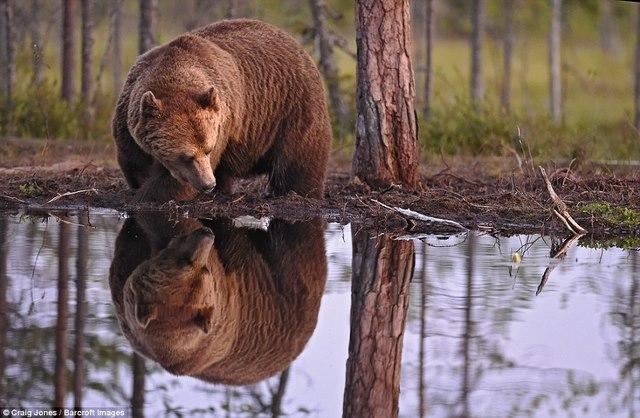 Gấu bị bầy sói dạy cho bài học vì xâm phạm lãnh thổ - 5