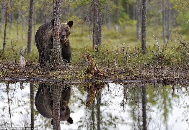 Gấu bị bầy sói dạy cho bài học vì xâm phạm lãnh thổ - 4