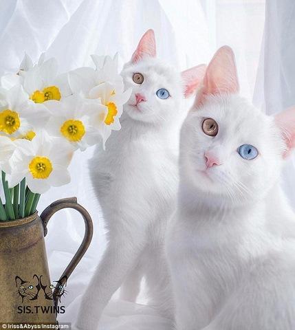 """Cặp mèo đẹp """"siêu thực"""" với tỉ lệ xuất hiện 1/1 triệu - 2"""