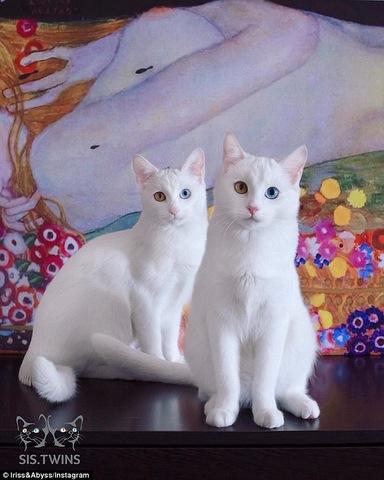 """Cặp mèo đẹp """"siêu thực"""" với tỉ lệ xuất hiện 1/1 triệu - 6"""