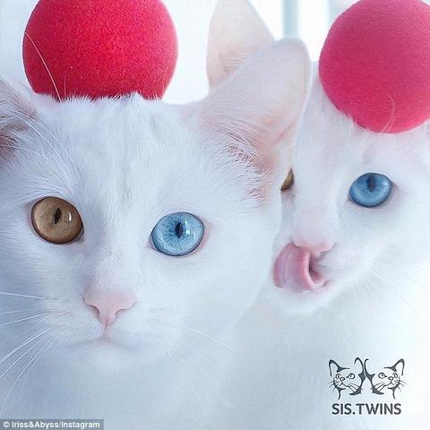 """Cặp mèo đẹp """"siêu thực"""" với tỉ lệ xuất hiện 1/1 triệu - 3"""