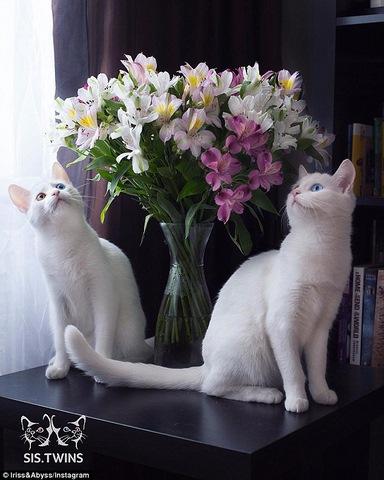 """Cặp mèo đẹp """"siêu thực"""" với tỉ lệ xuất hiện 1/1 triệu - 4"""