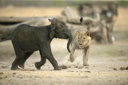 Sư tử đói hạ sát voi con bị lạc khỏi đàn - 1
