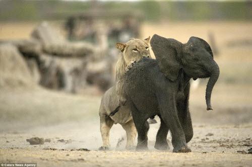 Sư tử đói hạ sát voi con bị lạc khỏi đàn - 2
