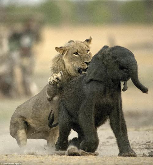 Sư tử đói hạ sát voi con bị lạc khỏi đàn - 3