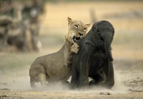 Sư tử đói hạ sát voi con bị lạc khỏi đàn - 4