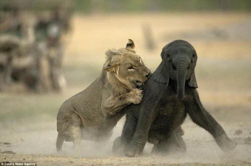 Sư tử đói hạ sát voi con bị lạc khỏi đàn - 5