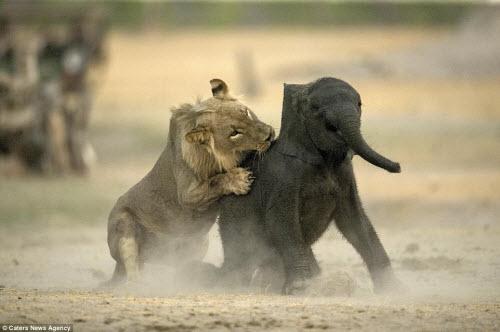 Sư tử đói hạ sát voi con bị lạc khỏi đàn - 6