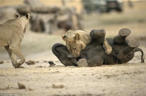 Sư tử đói hạ sát voi con bị lạc khỏi đàn - 7