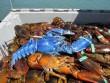 Mỹ: Vớt được tôm hùm xanh sapphire cực hiếm