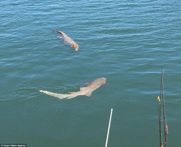 Úc: Cá sấu sát cánh cá mập bao vây thuyền câu - 2