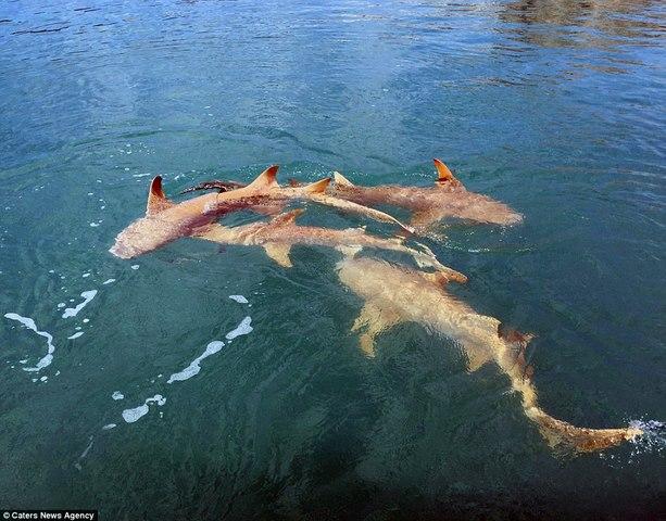 Úc: Cá sấu sát cánh cá mập bao vây thuyền câu - 1