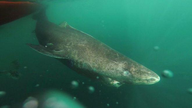 """Phát hiện """"cụ"""" cá mập sống thọ suốt 4 thế kỷ - 1"""