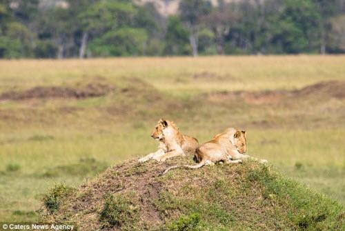 Trâu rừng một mình đánh đuổi 2 sư tử chạy không kịp thở - 1