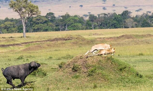 Trâu rừng một mình đánh đuổi 2 sư tử chạy không kịp thở - 2
