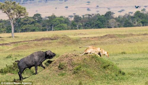 Trâu rừng một mình đánh đuổi 2 sư tử chạy không kịp thở - 3