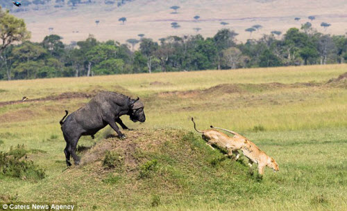Trâu rừng một mình đánh đuổi 2 sư tử chạy không kịp thở - 4