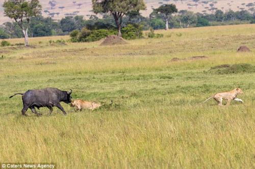 Trâu rừng một mình đánh đuổi 2 sư tử chạy không kịp thở - 5