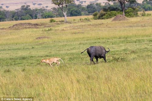 Trâu rừng một mình đánh đuổi 2 sư tử chạy không kịp thở - 6