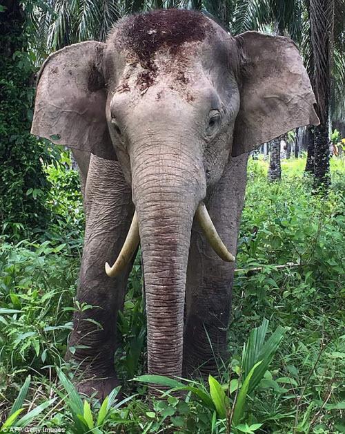 Chú voi có cặp ngà không giống ai - 1